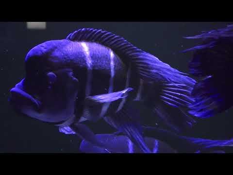 Kitumba-Beulenkopfmaulbrüter Zoo Aquarium