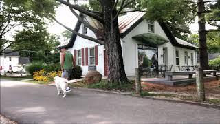 English Golden Retriever down to heel at Cincinnati Dog Trainers Off Leash K9