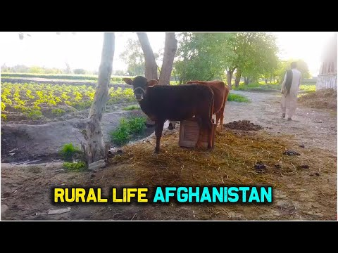 Daily Routine How Afghans live in village | Simple Afghan live | Village life of Afghanistan | 2020