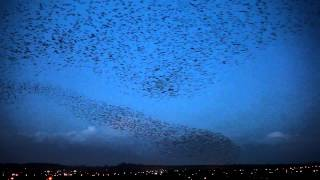 100,000 starlings fill the skies in Poole