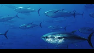 Atún rojo - Animales