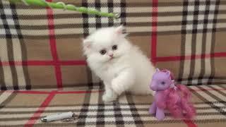 Белый персидский котенок на продажу White persian kitten for sale