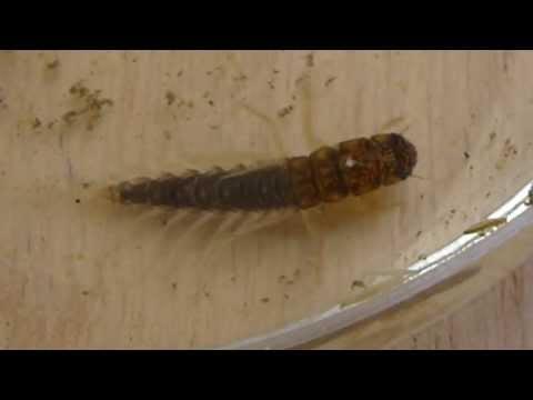 Mud Alderfly larva