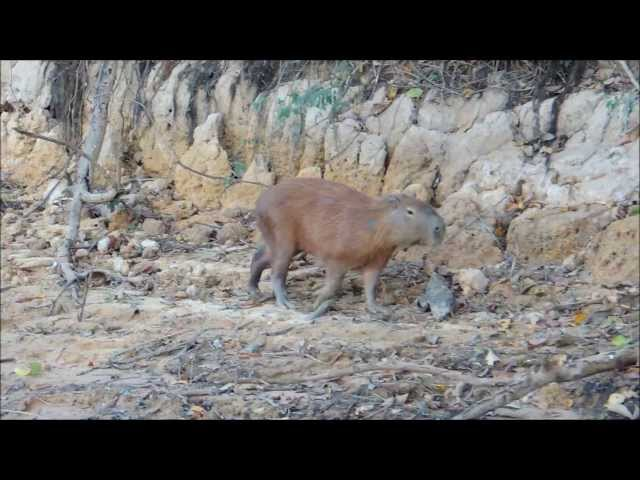 CAPIVARA AS MARGENS  RIO ARAGUAIA TRAVEL_VIDEO
