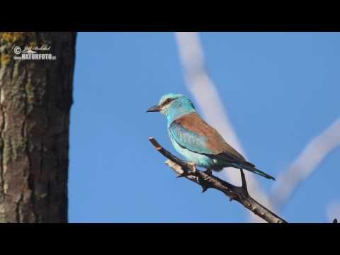 Mandelík hajní - (Coracias garrulus) - Roller - Blauracke