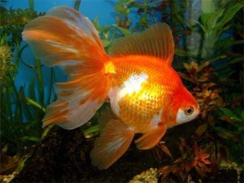 Katze und goldfische doovi for Aquarium goldfische