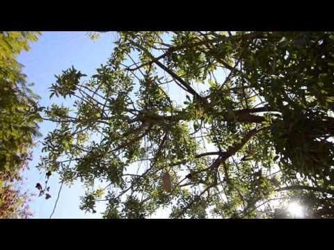 Колбасное дерево в Израиле