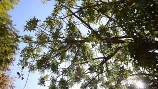 видео Вы спросите, а когда обрезать деревья?