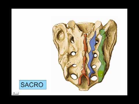 osteología de la columna parte n°4 sacro y coccix - YouTube