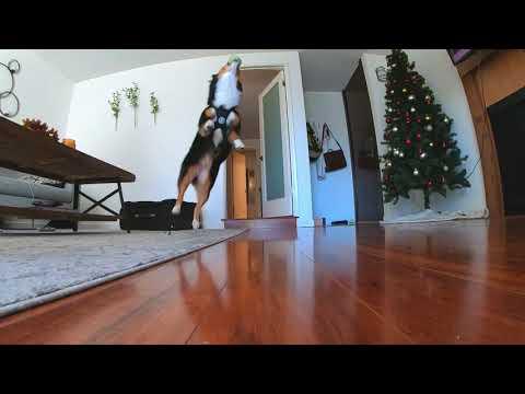 Slow-Motion: Mini Australian Shepherd