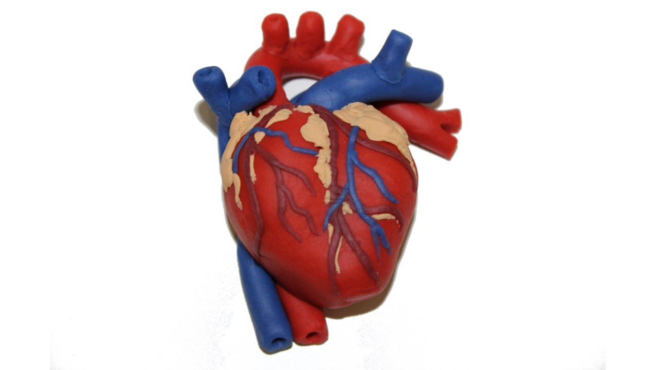 Interior Heart Diagram Trailer Harness Wiring 7 Way Install 3d Www Mauriciolemus Com How To Make A Human With Play Doh By Tiger Tomato Youtube Rh Flutter