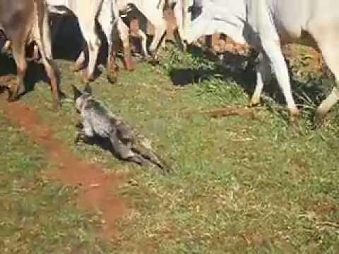 Blue Heeler Peroba tocando gado