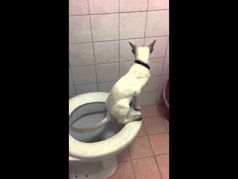 Toilet trained Siamese kitten