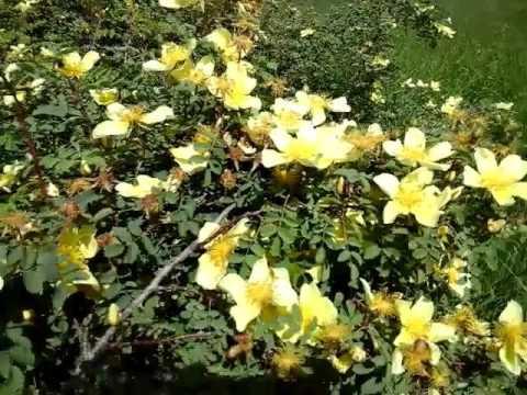 Поле маков, шиповник, пейзаж, цветы в начале мая в казахской степи