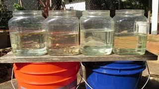 Raising Guppies:  Sorting, Sexing, and Culling Purebred and Crossbred Fry