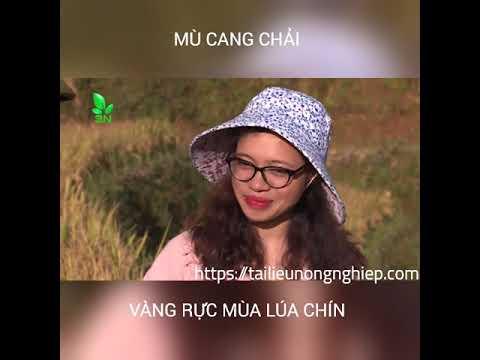 [VIDEO] MÙ CANG CHẢI VÀNG RỰC MÙA LÚA CHÍN