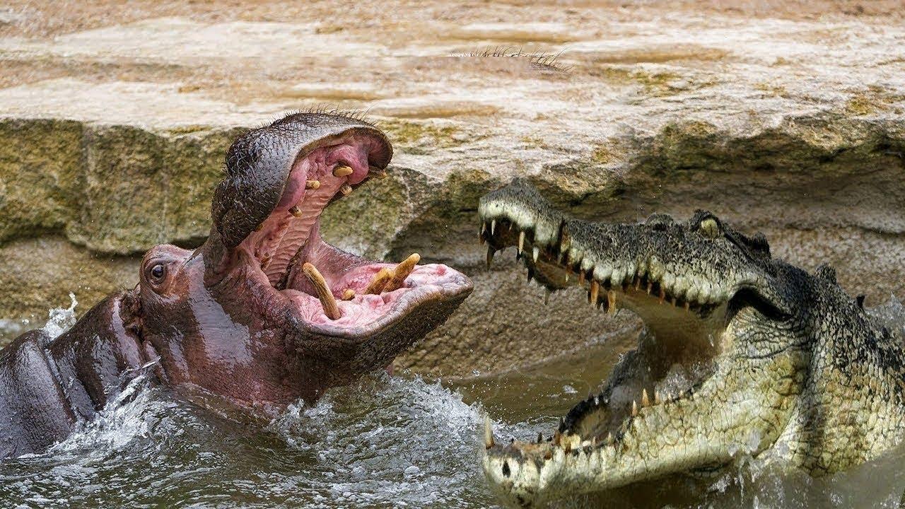 картинка бегемот ест крокодила для такого