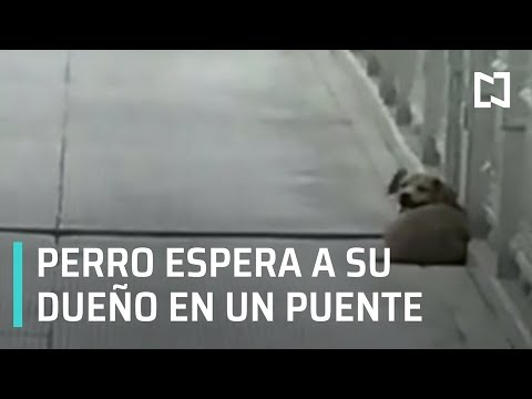 Perrito espera a su dueño por días en un puente de China - Por las Mañanas