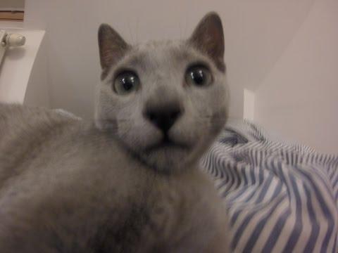 Crazy Russian Blue Cat Lucjan - Funny Cats