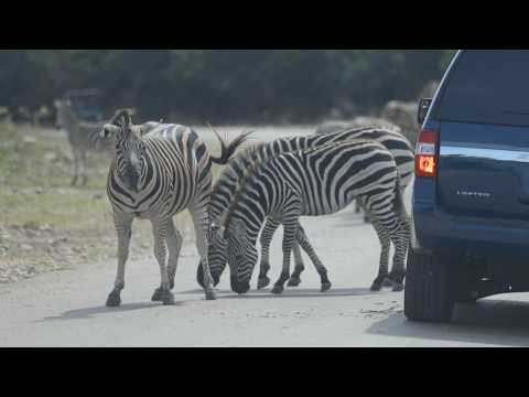 Thumbnail: Zebra - Educational Adventures