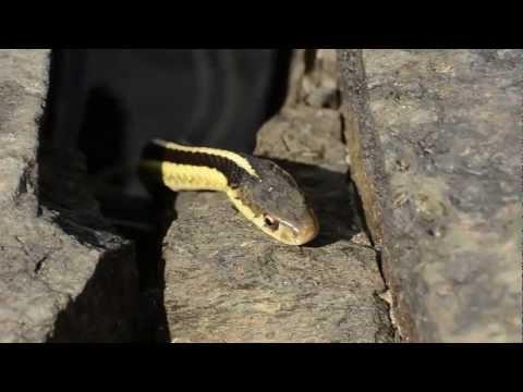 Garter Snake Eats Frog