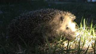 watch your step hedgehogs