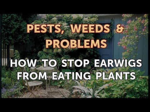 How to Stop Earwigs From Eating Plants