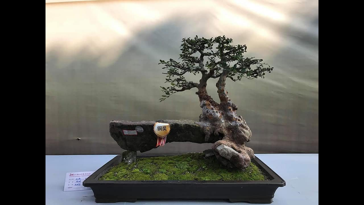 BONSAI EXHIBITION IN CHINA WELLCOM 2019