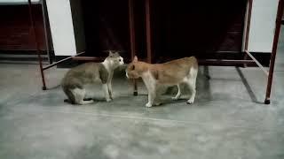 রাতে বিড়ালের সেক্স করার যুদ্ধ (Cats fighting for sex at night)