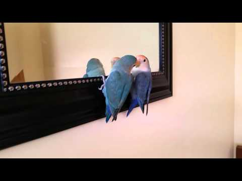 Lovebirds looking in the mirror