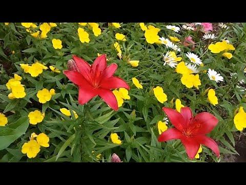 Цветы на клумбе в конце июня. - YouTube