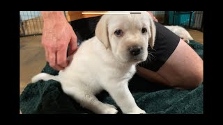 LIVE PUPPY CAM! Sweet Lab Puppies at Play livestream