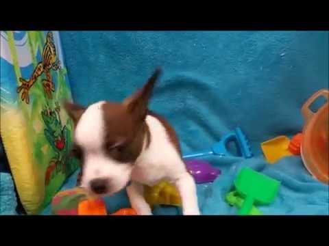 Male Brat Puppy