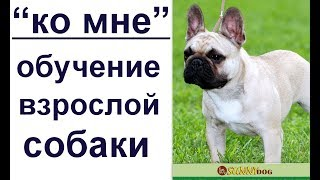 """""""ко мне"""" -   обучение взрослой собаки шаг за шагом на примере французского бульдога."""