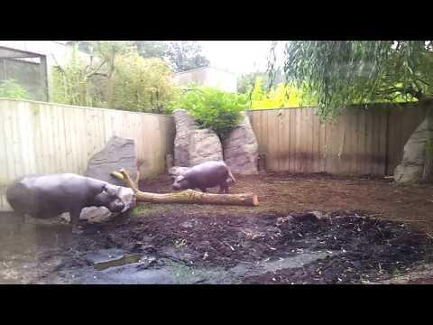 Pygmy hippopotamus courtship