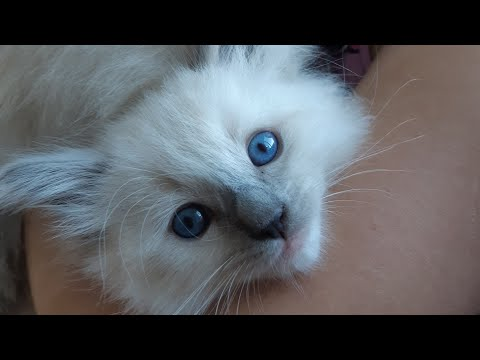 OMG so many ragdoll cats i am crazy hihi but so sweet and funny