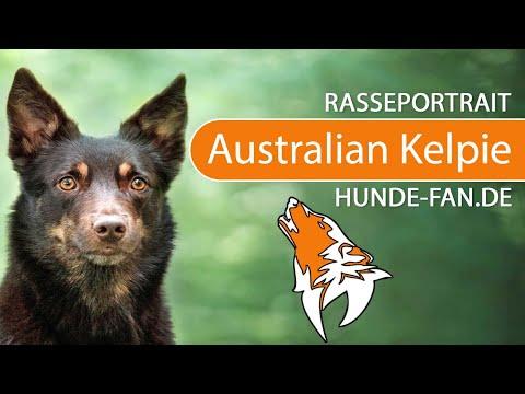Australian Kelpie [2018] Rasse, Aussehen & Charakter