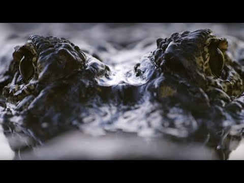Spectacular Alligator Mating Display | Animal Super Senses | BBC