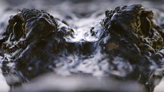 Spectacular Alligator Mating Display | Animal Super Senses | BBC Earth