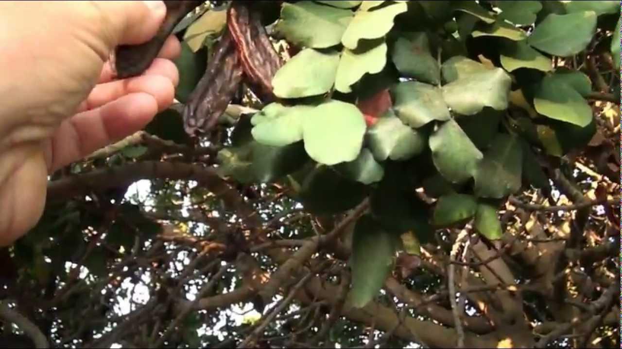 Pantelleria pianta di carrubo youtube for Pianta di more