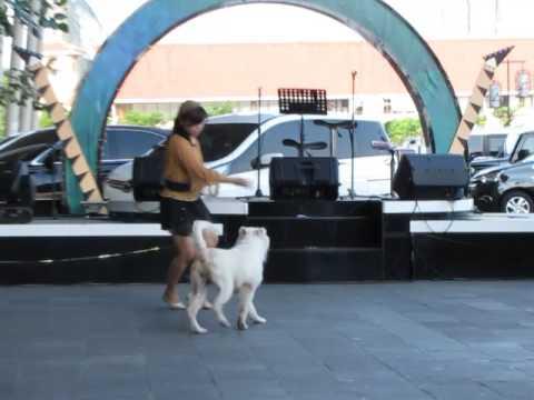 Baileys (samoyed Indonesia), dog dance - freestyle Funchamp13, 17 June 2017