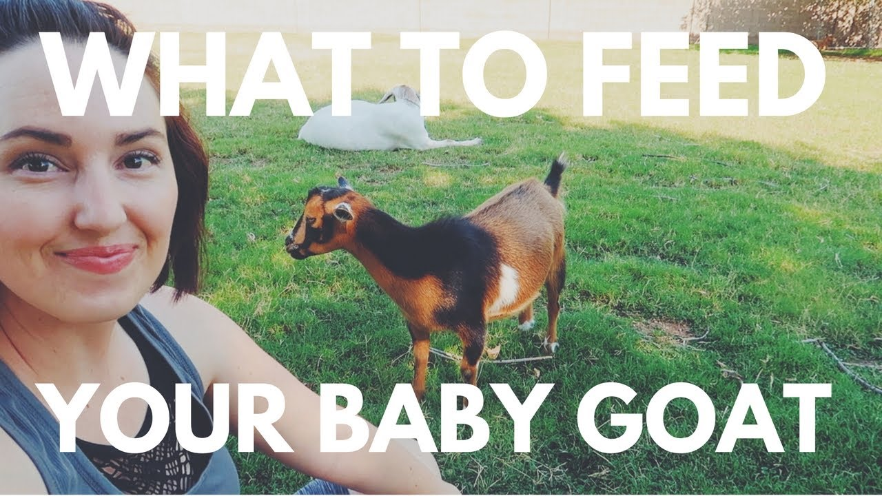 What to feed your new BABY GOAT
