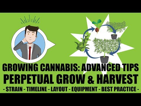 Cannabis Perpetual Harvest Setup Guide - Growing Cannabis 201 - Advanced Grow Tips