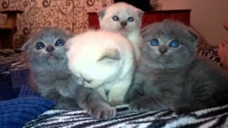 Шотландские вислоухие котята Ждут Хозяев!!!!