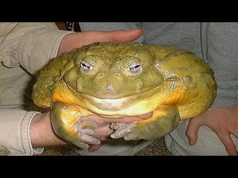 world s biggest frog   goliath frog   youtube