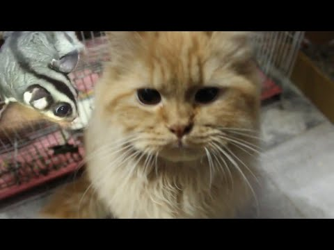 My Sugar Glider attacked my Persian Cat! | Wildly Indian