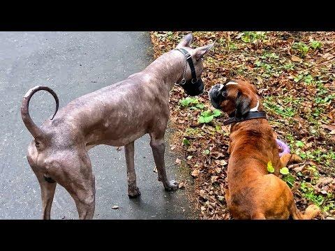 Мексиканская Голая Собака и Боксёр Тайсон.Реакция на Атаку