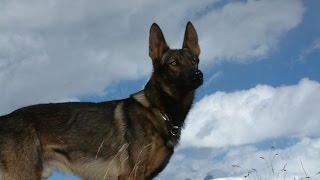 Итальянский волк/Лупо итальяно/Итальянская волчья собака (итальянский язык)