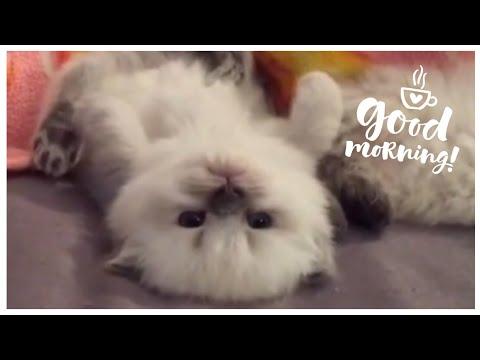 Himalayan Kittens for Sale - Adoptapet com