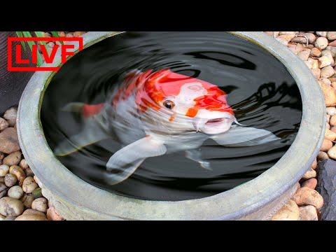 Mini Tropical Fish Pond Live Stream!